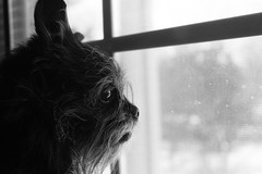 poops (justintfirefly) Tags: bw dog snow window poops trudy affenpinscher