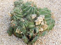 Ferocactus echidne (amantedar) Tags: barcelona cactus spain ferocactus ferocactusechidne parcdemontjuic jardindemossencostaillobera