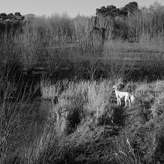 The Thin White Duke (DIE HEXEN) Tags: park portrait blackandwhite dog pet greyhound lake monochrome field river garden landscape etching outdoor hound serene renaissance perisiangreyhound