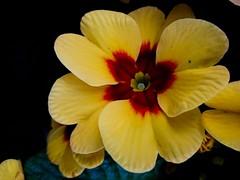 Yellow Prime (malcolm_lennart) Tags: life flower nature yellow contrast prime petals flora earth blume primel staubbltter