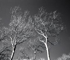 winter trees (pho-Tony) Tags: black color film rollei 35mm cosina voigtlander bessa snapshot ishootfilm 400 l analogue 135 bessal f4 25mm skopar voigtlanderbessal filmisnotdead rolleiretro400s rolleiinfrared400s