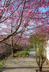 20160306-DSC_5954 (Kay's...) Tags: cherryblossom sakura   wuling wulingfarm