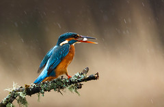 Fishing in the rain (Ruth Hayton) Tags: wild fish bird nature rain scotland wildlife kingfisher minnow alcedo atthis