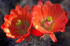 Twins (iatassi) Tags: flowers arizona cactus southwest macrophotography arizonacactusflowers springinarizona cannon60d iatassi iatassiphoto springinscottsdaleaz iatassihotmailcom copyrightiatassi