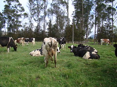 Haciendas Sabana de Bogot, Sop, Cundinamarca. (cayisn) Tags: colombia dairy grazing holstein dairycows dairycattle grazingcows cayisn claudianiovillalobos colombiarural colombianlandscapes grazingcowscolombia colombiaanimal