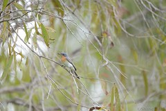 Leaden Flycatcher (Myiagra rubecula) (shaneblackfnq) Tags: bird north australia queensland tropical cairns far tropics flycatcher leaden fnq rubecula myiagra shaneblack
