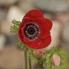 poppy poppin' after a rain (Pejasar) Tags: flowers red oklahoma nature beautiful rain spring waterdrop poppy bud tulsa