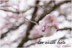 nieuwe lente (HP008921) (Hetwie) Tags: nature spring blossom nederland natuur lente bloesem bloemen noordbrabant helmond