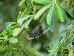 P3131225 (tatsuya.fukata) Tags: bird animal thailand samutprakan