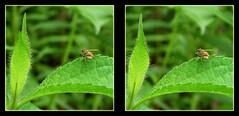 Hoverfly Love 2 - Crosseye 3D (DarkOnus) Tags: macro love sex closeup insect lumix stereogram 3d crosseye pennsylvania panasonic stereo mating stereography buckscounty hump hoverfly humping crossview dmcfz35 darkonus
