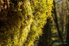 Harris Creek Sitka Spruce (WarpFactorEnterprises) Tags: road trip vacation vancouver island spring marine bayport cowichanbay 2016springvancouverislandroadtripvacationcowichan bayspring2016harriscreeksitkaspruceportrenfrewpacific circlegianttree2016 renfrewsookevictoria