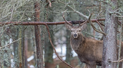 Red deer (Cervus elaphus) Through the trees. (Gowild@freeuk.com) Tags: trees winter wild nature animal forest woodland scotland woods nikon stag outdoor wildlife scottish deer antlers reddeer d4 cervuselaphus andrewmarshall