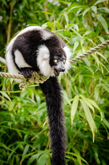 Black and white Ruffed Lemur (Mathias Appel) Tags: world red white black tree cute green eye feet blanco public leaves animal festival lady germany fur outside deutschland foot zoo eyes nikon noir day branch y bokeh background negro adorable blurred bamboo list lemur scream endangered augen screaming tierpark et madagascar blanc auge var fell schwarz bianconero domain tier niedlich bambus weiser rufo svartvit fus schrei vari ruffed schreien iucn madagaskar schwarzweis wari lemuren critically lmur fse grn vareciapretoebranco