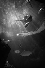 Cownose Rays (H.B. Sim) Tags: blackandwhite bw toronto water monochrome animal aquarium nikon underwater stingrays aquaticlife cownoseray ripleysaquarium hbsim nikond3300 d3300 ripleysaquariumofcanada