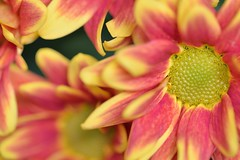 The fact that... (Steven H Scott) Tags: red orange plant flower macro green nature up yellow petals pattern dof close organic shallow