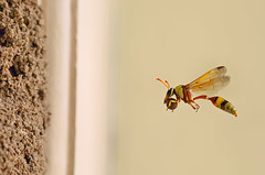 Potter Wasp Flight (karthik Nature photography) Tags: macro nature water yellow wasp nest wildlife insects nesting naturephotography macrophotography macroworld potterwasp wildlifephotography insectphotography insecthabitat waspinflight macrolife wildlifeindia insectsflight macrolifeinindia wasphabitat