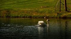 Cygne blanc (Yasmine Hens) Tags: nature water eau europa flickr belgium ngc lac cygne namur hens yasmine wallonie annevoie world100f iamflickr flickrunitedaward hensyasmine