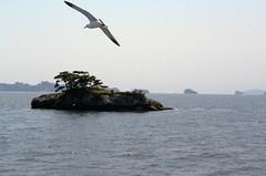 _DSC0387 (sayots) Tags: japan gull  matsushima miyagi