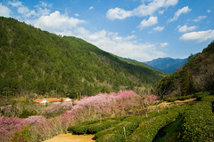 20160306-DSC_6055 (Kay's...) Tags: cherryblossom sakura   wuling wulingfarm