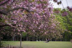 painter (kasa51) Tags: people japan spring painter cherryblossom sakura yokohama  doubleflowered  frontbokeh
