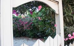 Garden Gate and Flowers, Tel Aviv (marylea) Tags: pink flowers garden israel telaviv gate oleander 2015 may15 telavivyafo