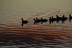 In the clouds (Luke6876) Tags: sunset cloud reflection bird water animal silhouette wildlife coot australianwildlife eurasiancoot