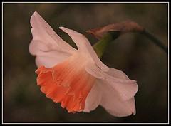 Tendres coloris (Les photos de LN) Tags: macro nature fleurs blanc printemps oranger douceur pétales tendres pureté floraison coloris