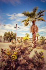 desert flower (Karol Franks) Tags: california cactus sky flower tree desert palm saltonsea