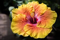 hibiscus (jojoannabanana) Tags: orange flower color yellow closeup petals colorful hibiscus warmcolors lambertonconservatory