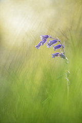 Jacinthe sauvage (YannW) Tags: flower nature fleur canon bokeh 300mm jacinthe 6d sauvage mayenne