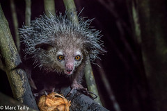 MarcTailly_mgb201509015184.jpg (hayastanlover) Tags: animals lemur mammals madagascar dieren primates primaten zoogdieren
