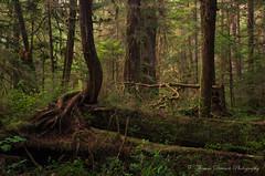 Walbran Valley Twisted Tree - Vancouver Island, Canada (Thomas J Dawson) Tags: oldgrowthforest ancientforest walbranvalley thomasdawsonphotography