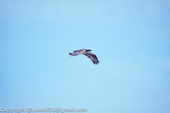 _DSC4789.jpg (orig_lowolf) Tags: usa dog nature oregon nikon flickr osprey lakeoswego turkeyvulture d300s sigma150500mmf563afapodgoshsmtelephotozoom
