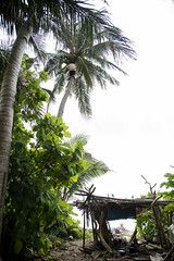 A man, a hut and his coconut tree (mavicbuada) Tags: man coconut philippines oldman hut coconuttree treeclimbing batanes sabtang duvek