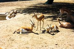 Gazelle (Ismail Photos) Tags: kuwait ahmadi