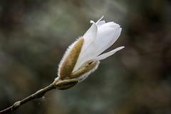New Life.. (klythawk) Tags: nottingham brown white black flower green nature grey spring panasonic shrub magnoliastellata starmagnolia 100300mm gh4 woodthorpepark klythawk