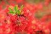 Zierquitte mit grünem Blatt (Fotos4RR) Tags: red plant rot spring pflanze blüte frühling chaenomeles zierquitte frühlingsblüte