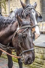 Horse Power (dietmar-schwanitz) Tags: horses horse animals tiere marketplace pferde pferd harz marktplatz goslar lightroom dietmarschwanitz nikond750 nikonafsnikkor24120mmf40ged