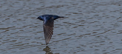 Wingtip to Water (Bonnie Ott) Tags: lake water flight skimming purplemartin prognesubis