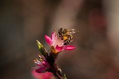 Busy bee on a peach tree (zmonarski.m) Tags: flower macro tree nature closeup fruit canon garden spring blossom bokeh peach poland polska bee busy peachtree wroclaw fruittree 135mm wiosna wrocaw ogrod pszczoa ogrd 70d brzoskwinia pszczola spring2016