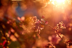 Bokehlicious (Matthew Plahtinsky) Tags: sunset flower canon blossom bokeh 28 200mm bokehlicious