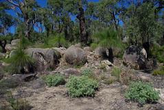 Grevillea bipinnatifida ssp bipinnatifida and Xanthorrhoea preissii on granite, John Forrest National Park, near Perth, WA, 05/04/16 (Russell Cumming) Tags: plant rock perth granite westernaustralia grevillea johnforrestnationalpark proteaceae granodiorite xanthorrhoea xanthorrhoeaceae xanthorrhoeapreissii grevilleabipinnatifida grevilleabipinnatifidabipinnatifida