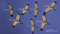 DSC_0312 (mikeyasp) Tags: birds flying inflight nebraska flock cranes formation avian sandhillcranes gruscanadensis