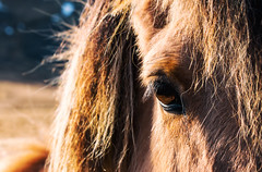 Stare Down (Emil L. L.) Tags: blue horse hairy brown blur hair eyes little bokeh harry potter pony blond blonde equestrian equus icelandic ferus caballus