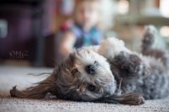 pawdorable (MjZ Photography) Tags: dog pet cute puppy back little canine lie paws cuteness lay zayla zaylapuppy