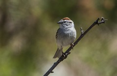 Rusty-Crowned Chipping Sparrow (Odonata457) Tags: mountains unitedstates maryland sparrow catoctin frederick chipping spizellapasserina