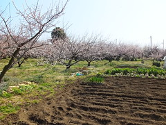 16i5496 (kimagurenote) Tags: apricot ume  japaneseapricot  prunusmume sogabairin   odawarakanagawa