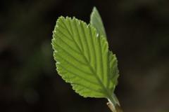 toute frache! (bulbocode909) Tags: nature vert printemps feuilles veil
