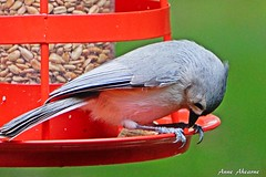 Titmouse Eating at the Feeder (--Anne--) Tags: bird nature birds feeding eating wildlife titmouse tuftedtitmouse