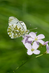 The orange tips are back (finor) Tags: nature animal butterfly insect sony alpha orangetip aurorafalter explored mirrorless a6000 laea2 sal70400g2 ilce6000
